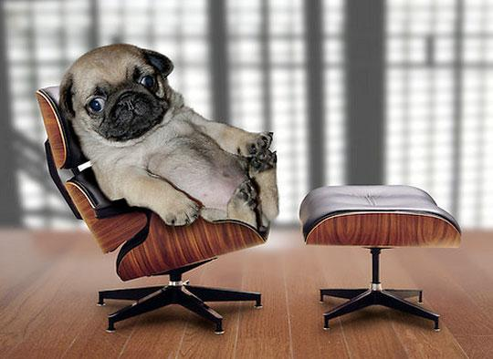 Apartment Therapy Chicago, Mini Pug   Mini Eames Lounge = Small and Cool?