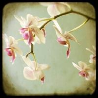 Art/Wall Decor - Etsy :: AliciaBock :: Bow- Original Signed Fine Art Photograph- Alicia Bock - Orchid picture  [ Bow ]