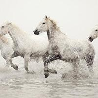 Art/Wall Decor - White Horses Running by EyePoetryPhotography I Etsy - white horses photography, photography of horses running, horse photography,