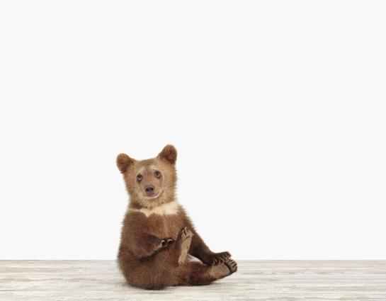 Bear Cub, Sharon Montrose, The Animal Print Shop