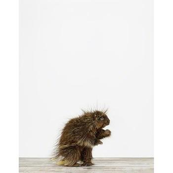 Art/Wall Decor - Porcupine - Sharon Montrose  I The Animal Print Shop - baby animal nursery art, baby animal nursery photography, porcucpine photography,