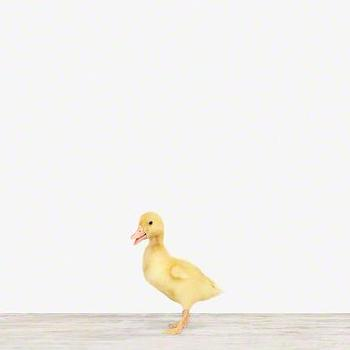 Art/Wall Decor - Duckling - Sharon Montrose | The Animal Print Shop - nursery art, yellow duckling art, yellow duckling photography, yellow duckling nursery art, baby animal nursery art, baby animal nursery photography,