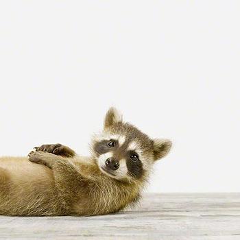 Baby Raccoon No. 1, Sharon Montrose, The Animal Print Shop