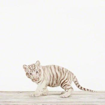 Art/Wall Decor - Baby White Tiger No. 2 - Sharon Montrose I The Animal Print Shop - baby animal nursery art, baby animal nursery photography,