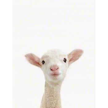 Lamb Close-Up Sharon Montrose I The Animal Print Shop