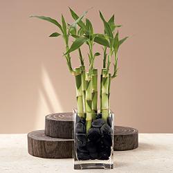 Glass Vase Lucky Bamboo