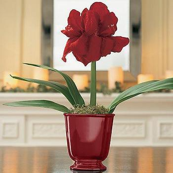 Amaryllis Kit Red Pot, Holiday Decor, Accessories