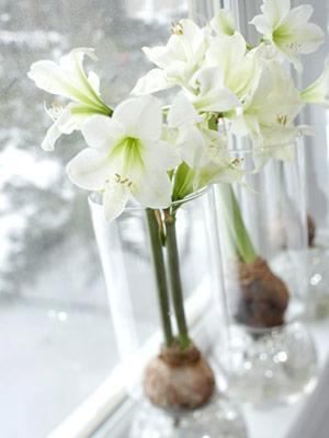 White amaryllis glass vases christmas decoration for Amaryllis christmas decoration