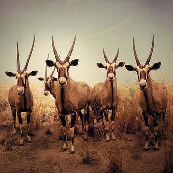 Antelope antlers photograph, EyePoetryPhotography, Etsy